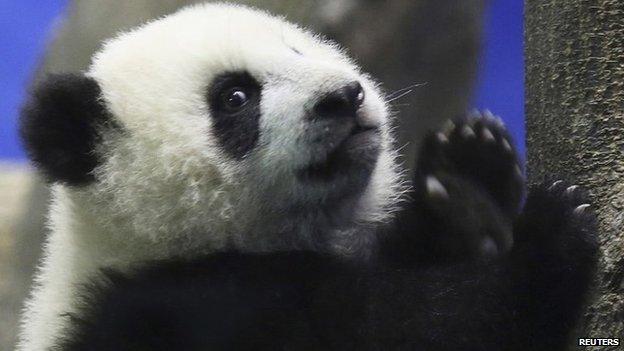 Yuan Zai, the first Taiwan-born baby panda, gestures as it climbs a wood log inside an enclosure at the Taipei City Zoo in Taipei, 4 January 2014