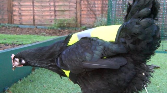 Chicken wearing high visibility jacket