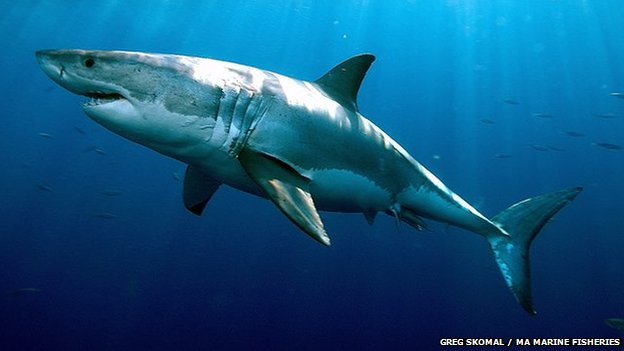 Great white sharks 'live for 70 years'