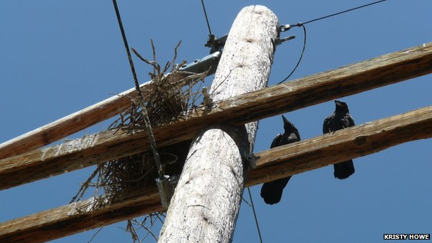 Power line nests put US ravens in pole position for prey