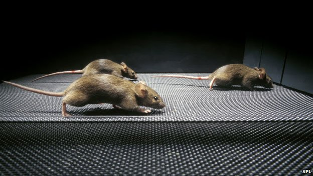 Mice receiving gene therapy for Duchenne muscular dystrophy
