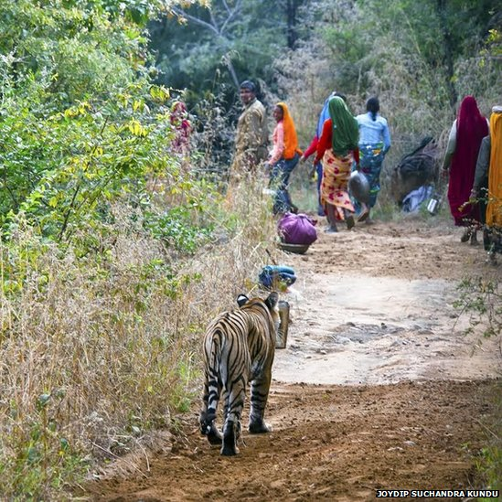 Forest guards and labourers quietly give way to a big cat inside Rajasthan's Ranthambhore national park.