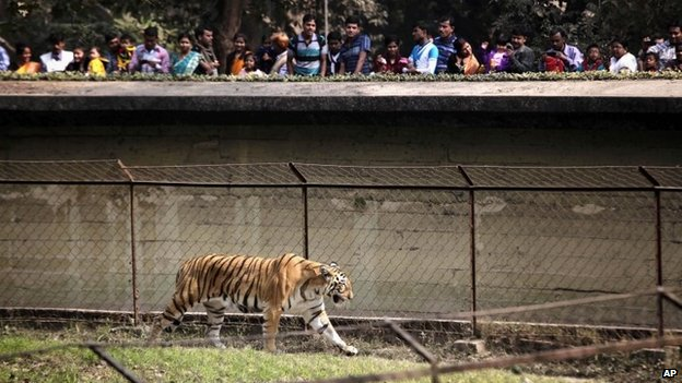 A tiger in a zoo in Calcutta, India