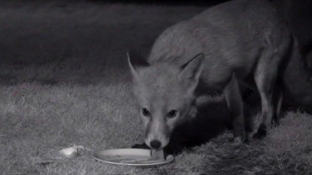 Fleet the fox