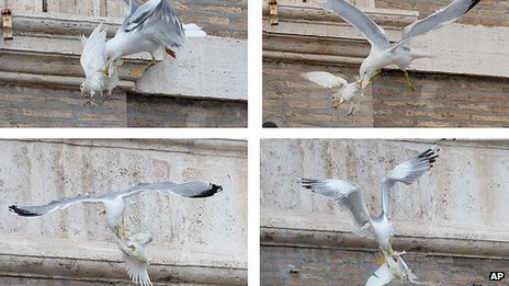 A dove is attacked by a seagull in St Peter's Square at the Vatican