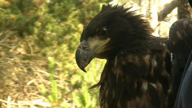 Wildlife expert rejects calls to control sea eagles