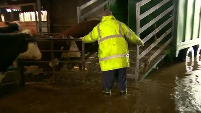 Farmer guiding cows out of flooded barn