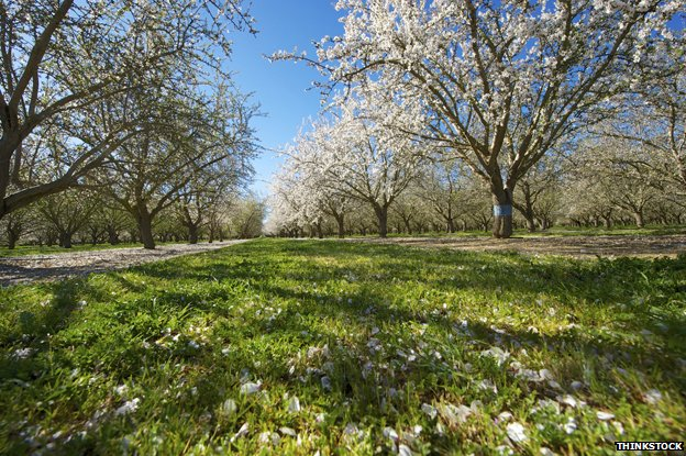 Almond orchard in central California