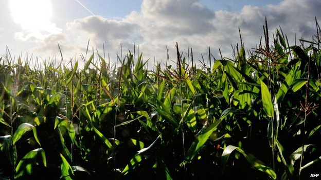 Corn field in France - file pic