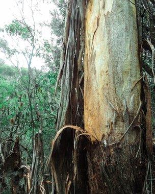 Charred Eucalyptus tree