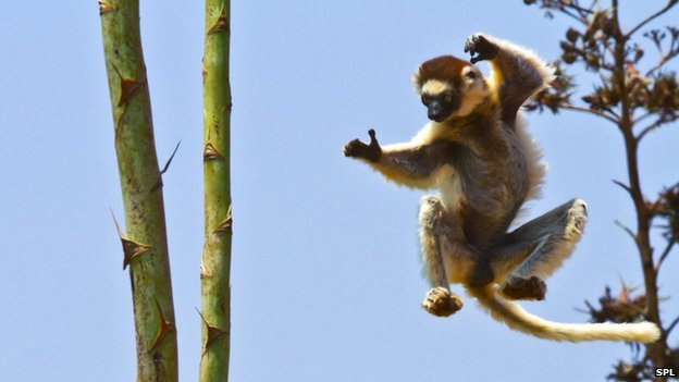 Verreaux's sifaka lemur