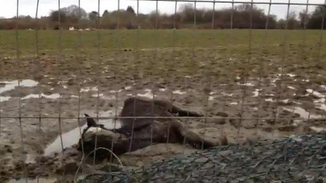 Horse lying in field