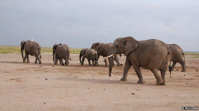 African elephants in the Amboseli National Park, Kenya (c) Karen McComb, University of Sussex