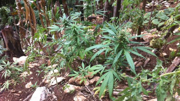 Jamaica's marijuana growers split on legalisation - BBC News