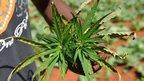 post-image-Jamaica's marijuana growers split on legalisation
