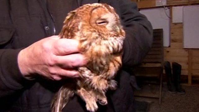 Lucky the owl