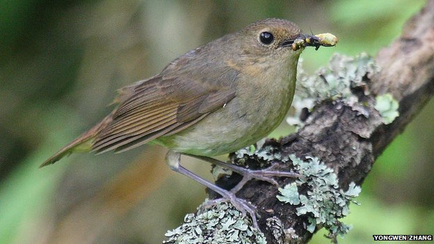 Rare Blackthroated Blue Robins spotted in China