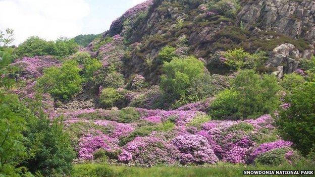 Rhododendrons in Beddgelert in Snowdonia National Park