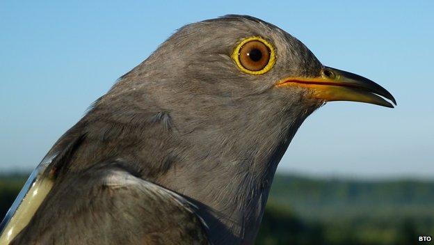 Chris Packham cuckoo reveals migration secrets
