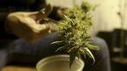 post-image-Uruguay marijuana legalisation: Details unveiled
