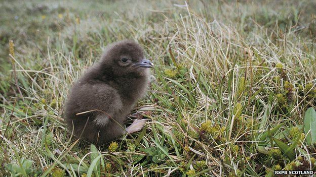 Urgent action needed to protect seabirds, say RSPB Scotland