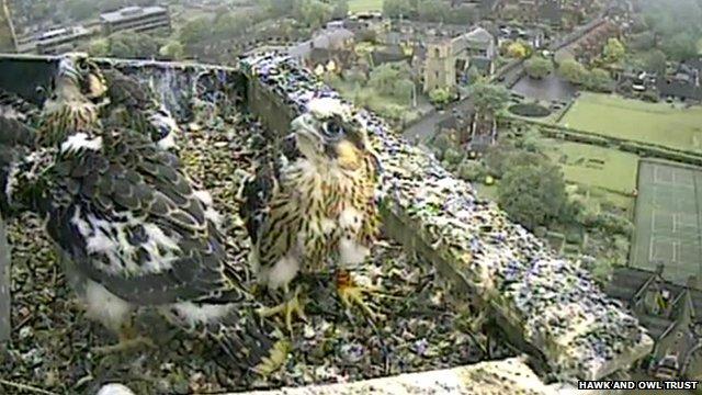 Norwich Cathedral peregrine falcon chicks