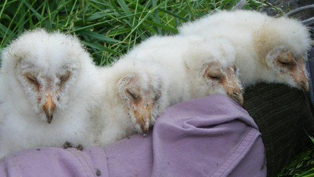 Owl chicks at Lark Rise Farm