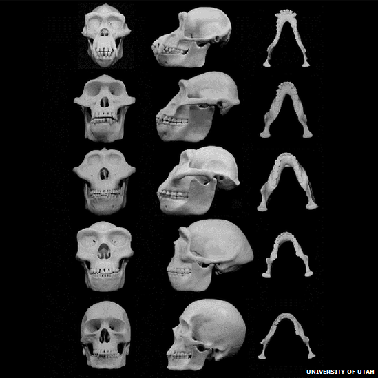 Human and ancestral skull reconstructions