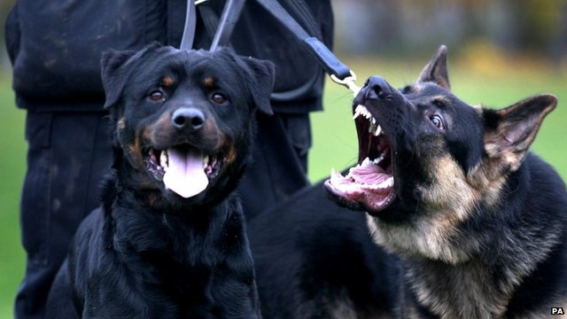 A Rottweiler and a German Shepherd police dog