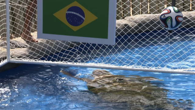 """""""Big Head"""" the Turtle predicts Brazil to win the opening game of the World Cup"""