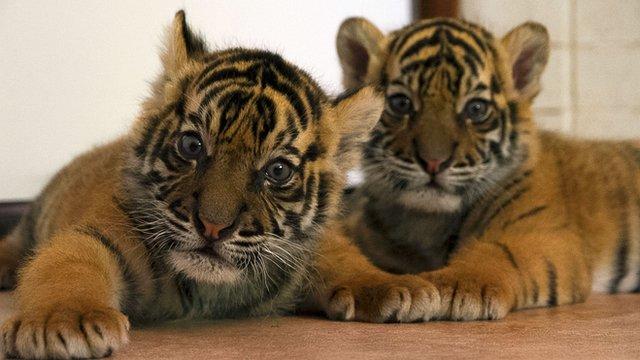 Sumatran tiger cubs Spot and Stripe at Giles Clark's home