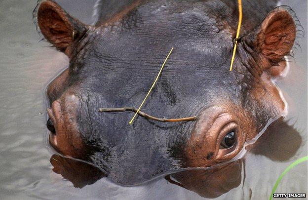 A hippo at the Hacienda Napoles