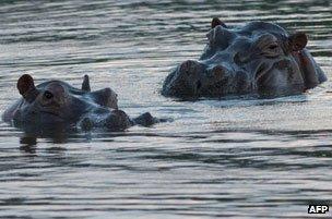 Hippos bathing at Escobar's hacienda