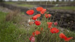 Poppies growing at the Dixmude 'Trenches of Death' it was here that the Belgian army struggled under unbearable harsh conditions to successfully keep the German Army at bay for the whole of the war.