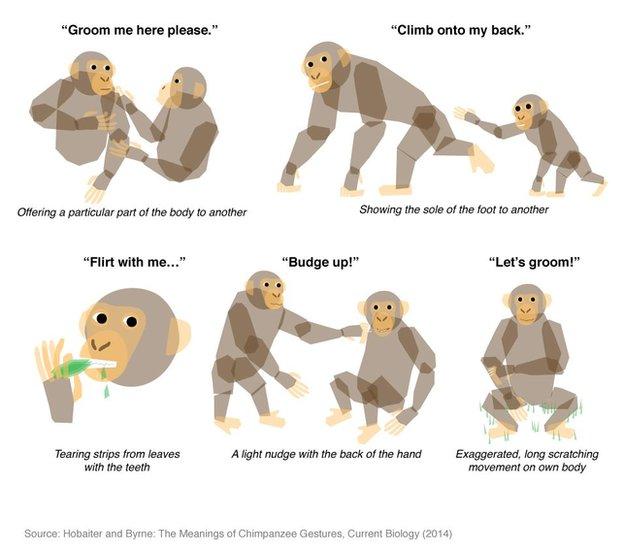 Chimpanzee communication signals