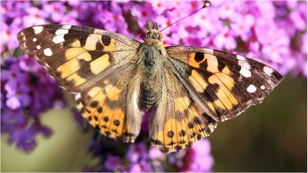 Painted lady butterfly feeding on buddleia