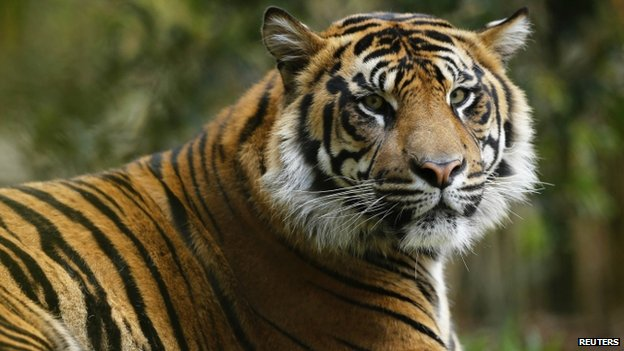 A young male Sumatran tiger in the US (2014)