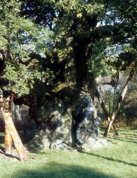 Major Oak in 1988