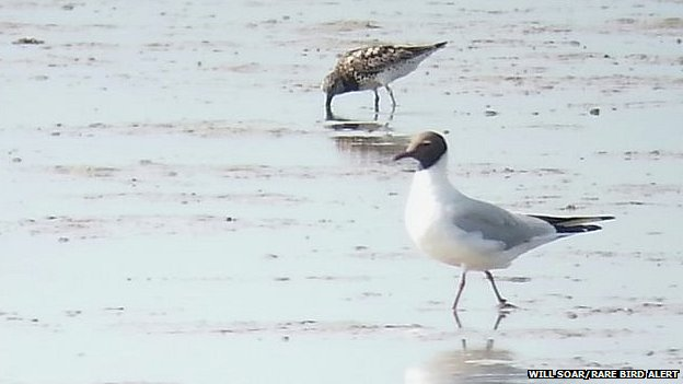 Great knot feeding on Breydon Water with a black-headed gull