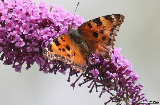 Rare yellow-legged tortoiseshell butterfly spotted in UK