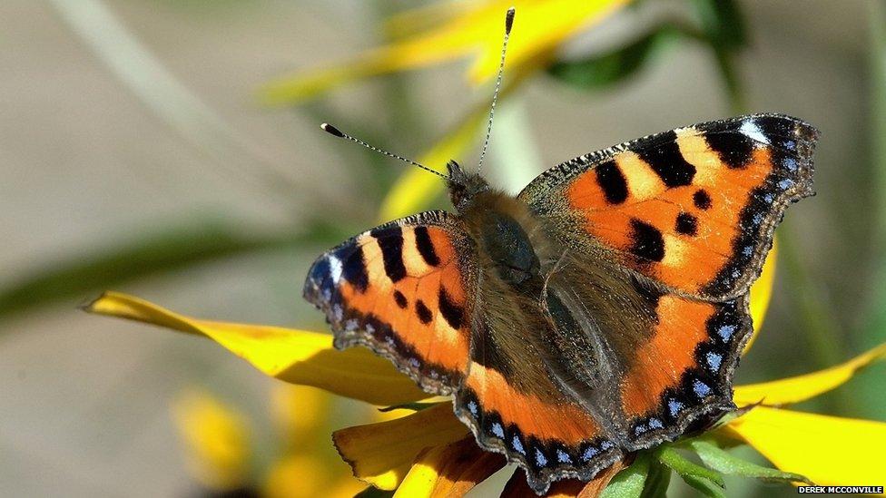 Tortoiseshell butterfly
