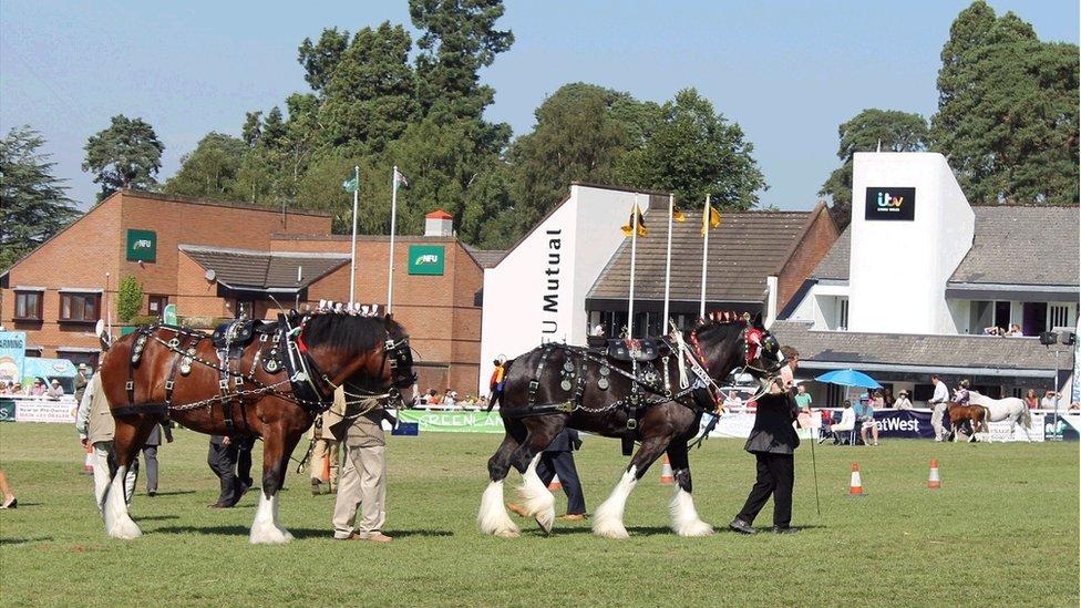Y ceffylau gwedd bendigedig yn eu harnes. // The resplendent shire horses in full harness.