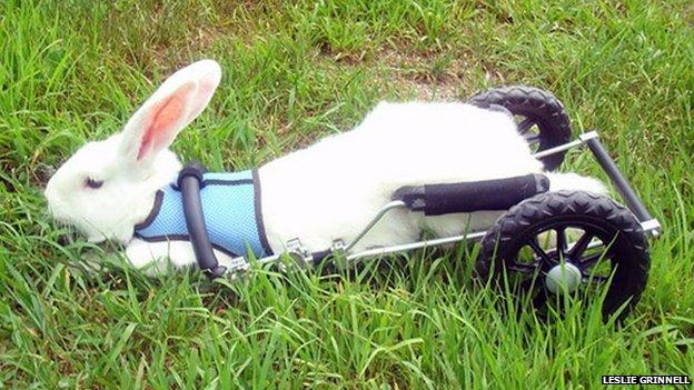 Rabbit wheelchair