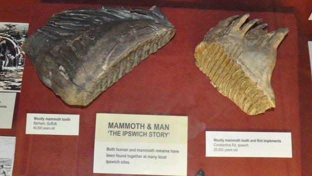 Woolly mammoth teeth, Ipswich Museum