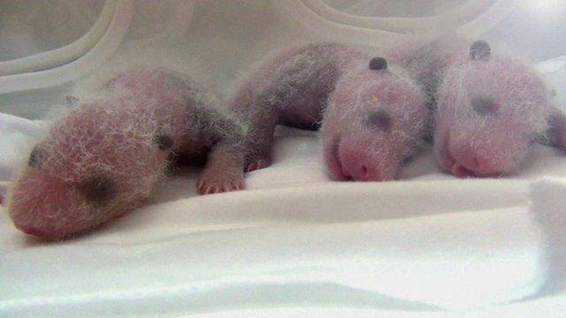 The panda triplets