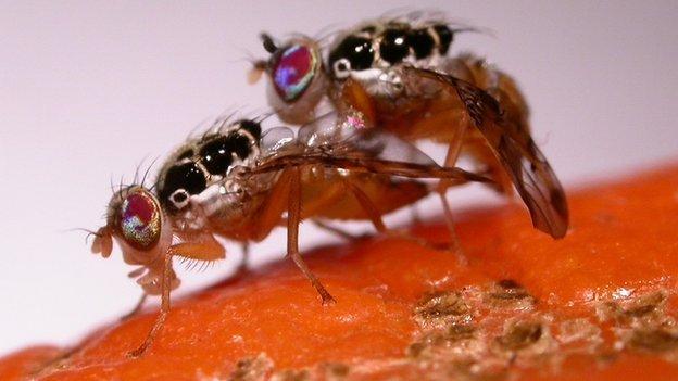 Genetically engineered fruit flies