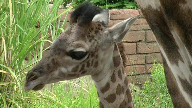 Baby giraffe Kamili at Houston Zoo