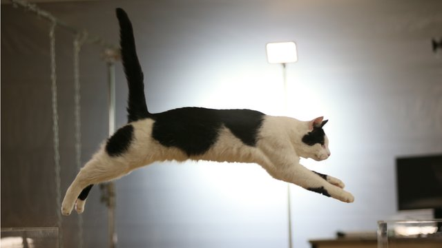 A leaping cat