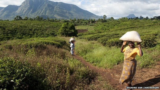 People crossing a tea plantation in Gurue province.  Mozambique agriculture remains underdeveloped.