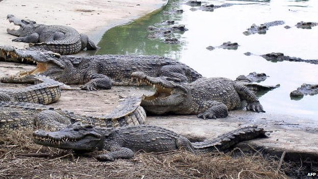 Crocodiles sit in and on the edge of water at the Samut Prakarn Crocodile Farm and Zoo on the outskirts of Bangkok on 12 October 2008.